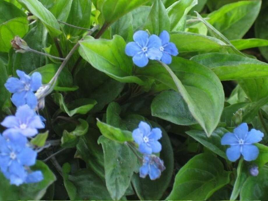 Omphalodes cappadocica. Photo: Native Sons Nursery