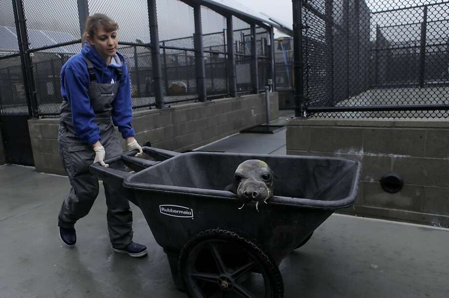 """Beth Wise wheels the elephant seal, named  """"Second Chance"""" , to  the scales to be weighted, Monday March 14, 2011, at the Marine Mammal Center in Sausalito, Calif. She has been volunteering with the center for almost 2 years. Photo: Lacy Atkins, The Chronicle"""