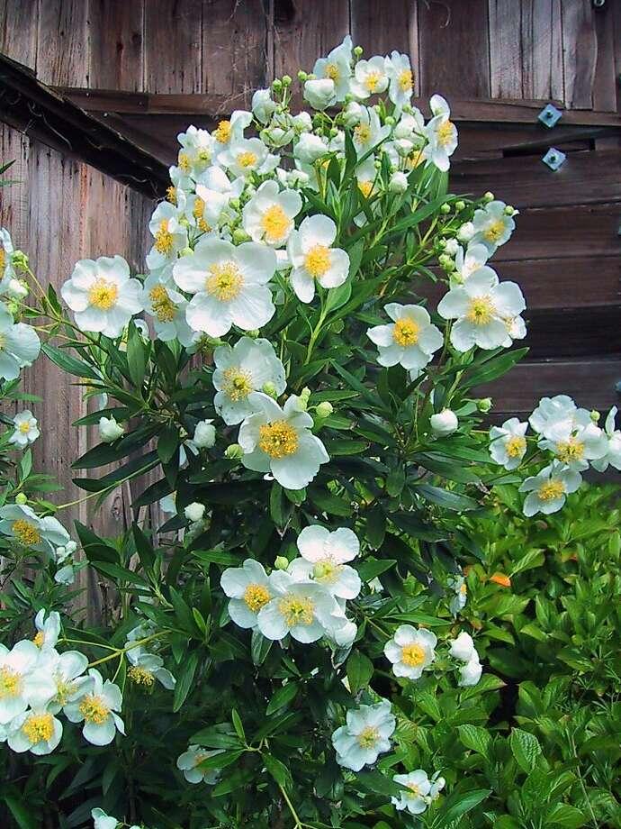 Carpenteria Photo: California Flora Nursery