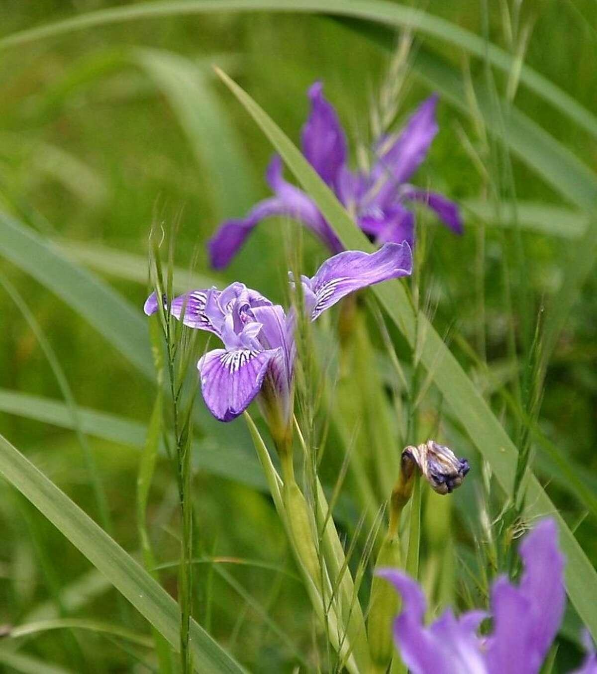 Wild iris at Rancho del Oso