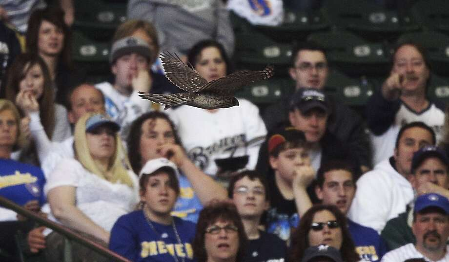 Fans watch as a hawk flies around Miller Park during the third inning of a baseball game between the Milwaukee Brewers and the Houston Astros, Sunday, April 24, 2011, in Milwaukee. Photo: Morry Gash, AP