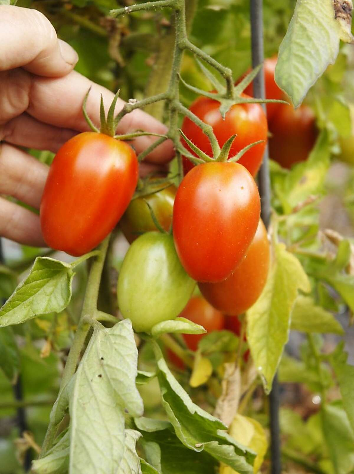 'Juliet' variety tomato shows fairly high resistance to tomato late blight and bears a heavy crop of small