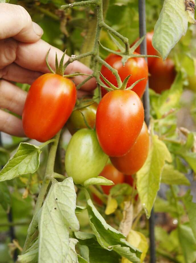 """'Juliet' variety tomato shows fairly high resistance to tomato late blight and bears a heavy crop of small """"plum"""" shaped fruits. Photo: Pam Peirce"""
