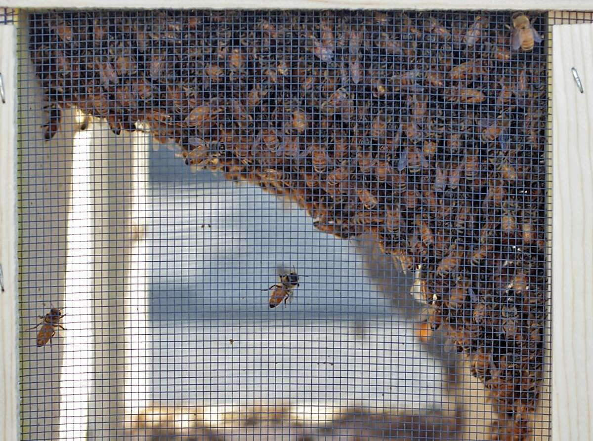 The bees sit in their container that they traveled in from the Marin Bee Company to the San Francisco Chronicle rooftop garden, where two beehives are set up, Tuesday April 5, 2011, in San Francisco, Calif.