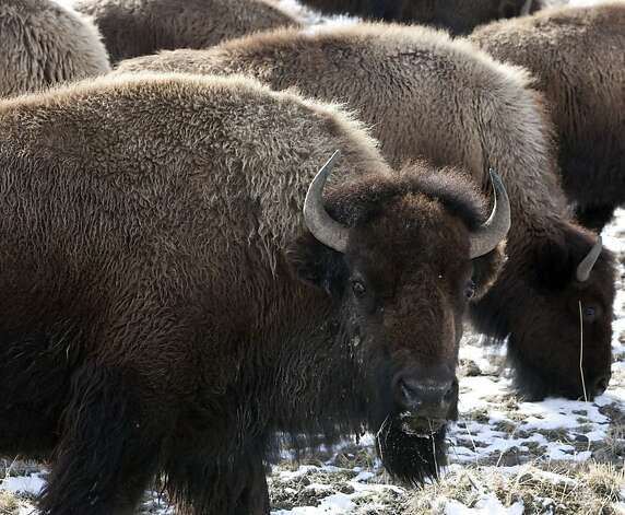 FILE - This March 17, 2011 file photo shows bison roaming outside the gate of Yellowstone National Park in Gardiner, Mont. Bison from Yellowstone National Park would roam freely across tens of thousands of acres in Montana where for years they had been shipped to slaughter by the hundreds, under a breakthrough agreement expected to be adopted this week. Photo: Janie Osborne, AP
