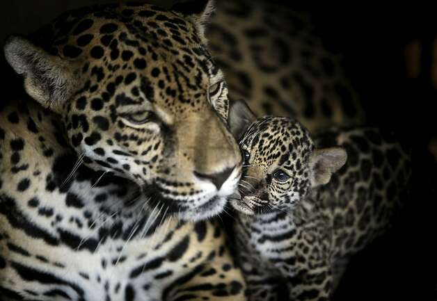 Rosa Salvaje, a jaguar, and her one-week-old cub look on at the National Zoo in Managua, Nicaragua, Thursday, April 7, 2011. Photo: Esteban Felix, AP