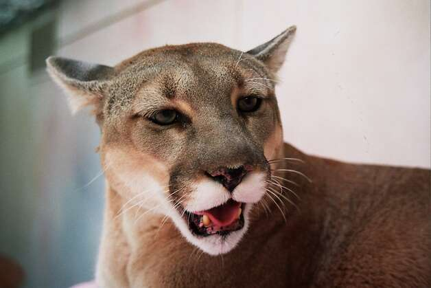 Mountain lion (Puma concolor)  Region found: Mostly western United States and Canada, south to Argentina and Chile.  Wild about: Mainly mule deer. Will also take wild pigs, small livestock, domestic pets.  Favorite digs: Wilderness areas, parklands; visits urban areas adjacent to wildlands.  Offspring per year: Normally three, maximum six.  Natural predators: None lately. Photo: John Hanna
