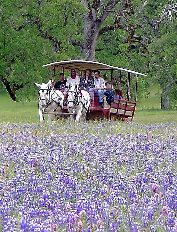 The only thing better than welcoming spring with a wildflower excursion is doing it by mule-drawn wagon. For spring, roses take a back seat to a sea of lupine and a profusion of other flora at Eleven Roses Ranch, a cattle spread worked by the same familysince 1883. The 1?-hour narrated wagon tour begins with local wines and appetizers and ends with a chuckwagon barbecue ? and more Lake County wines. Photo: Laura Lamar, MAX Design Studio