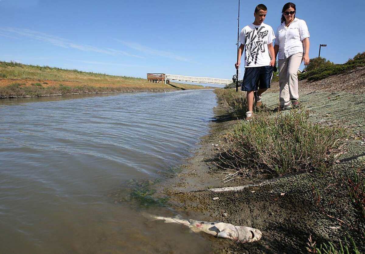 Catherine Greer and her son Lorenzo Fernandez age 13 return to the banks of a slough in Redwood Shores development in Redwood City CA, to locate a dozen leopard sharks that are dead or dying Thursday, April 21, 2011