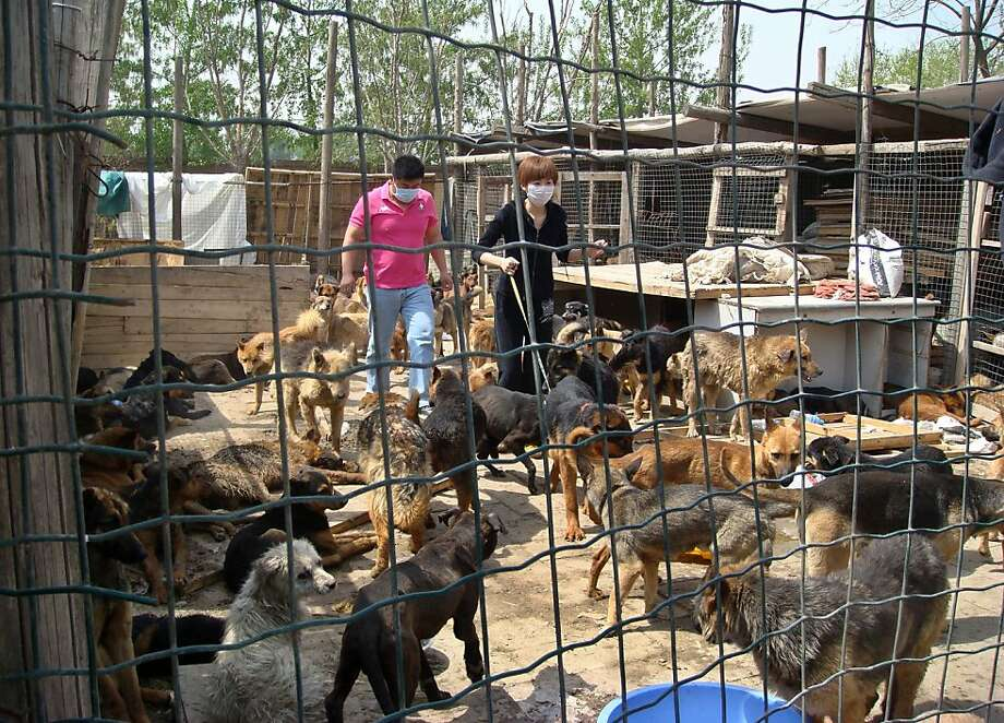 In this photo taken Saturday, April 16, 2011 and released by Capital Animals Welfare Association, volunteers walk amongst dogs rescued by animal lovers who blocked a truck are released to a shelter in Beijing, China. Chinese animal lovers mobilized by online calls for help blockaded a truck of hundreds of dogs being shipped off for food in a rare, permitted display of social action amid a broad crackdown on most kinds of activism. Photo: AP