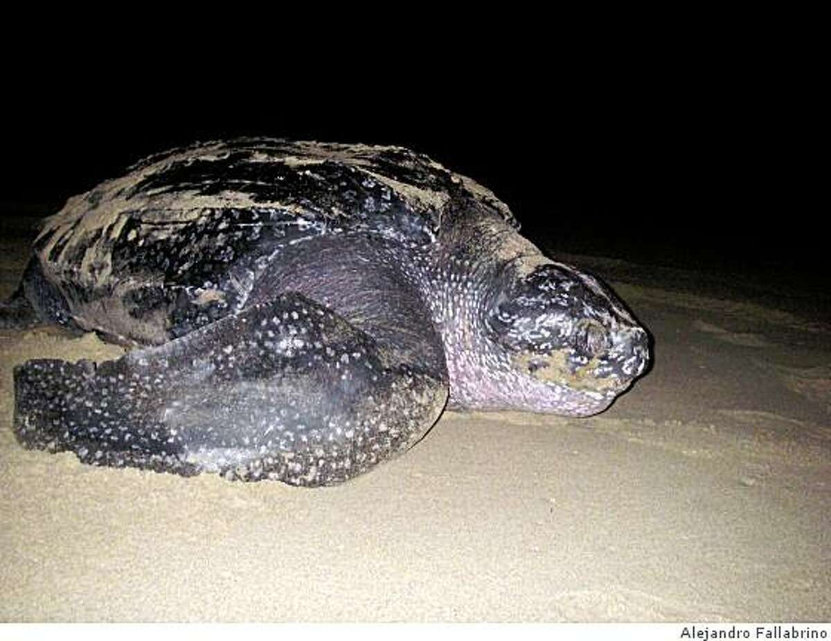 A leatherback turtle off the coast of Northern California.