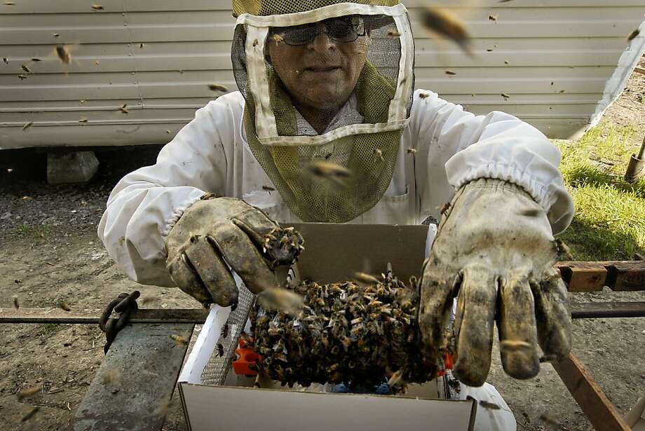 Beekeeper Paulino Dustamante, prepares a shipment of honey bees. Tom Parisian, is the owner of Honey Bee Genetics Inc., in Vacaville, Ca. California's commercial honeybee population, after sinking to a 23-year low in 2005, seems to be on the rebound -- although a mysterious and deadly disorder continues to plague some colonies. Parisian who raises bees shipped around the country for pollinating, said this and last year seem to be the best for bee populations in the last several. Photo: Michael Macor, The Chronicle