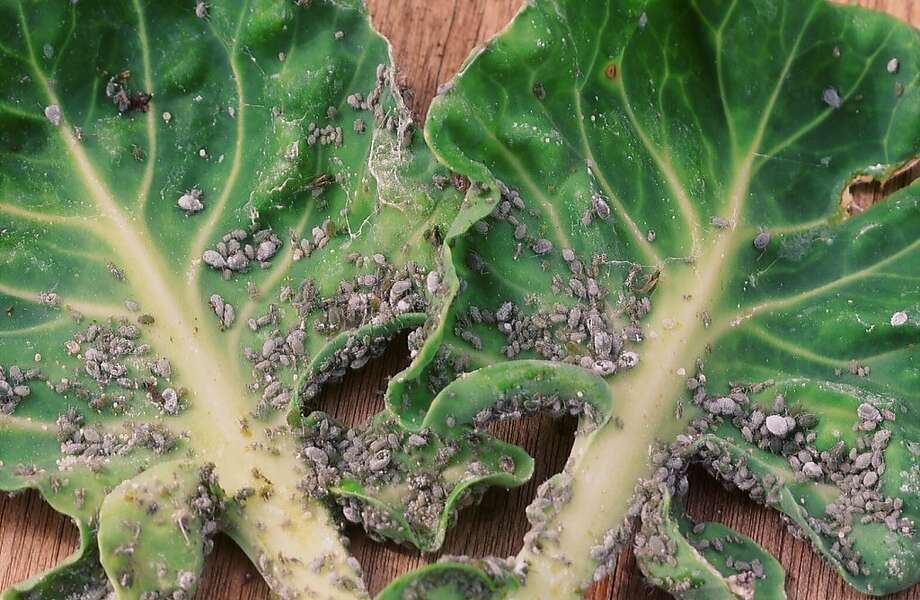 Oil-containing sprays are one of the tactics that can prevent aphids from reaching damaging numbers, as they have on these Brussels sprout leaves. Photo: Pam Peirce