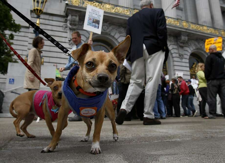 Lola and Kika checked out a photographer at the gathering. A large gathering of dog owners on the steps of San Francisco City Hall Monday April 11, 2011 preceded a meeting of the Board of Supervisors. The dog owners are upset with the Golden Gate National Recreation Area plan to cut or ban dogs in specific areas of the park. Photo: Brant Ward, The Chronicle