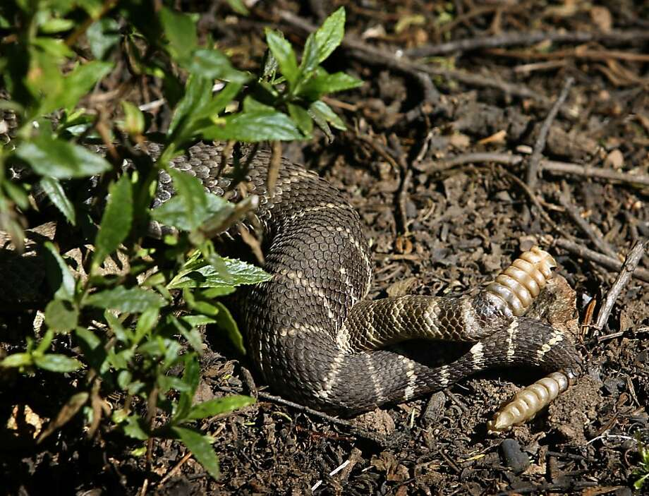 Two rattlesnakes have an intimate encounter along a trail at Edgewood County Park in Redwood City, Calif. on Friday, April 1, 2011. Photo: Paul Chinn, The Chronicle
