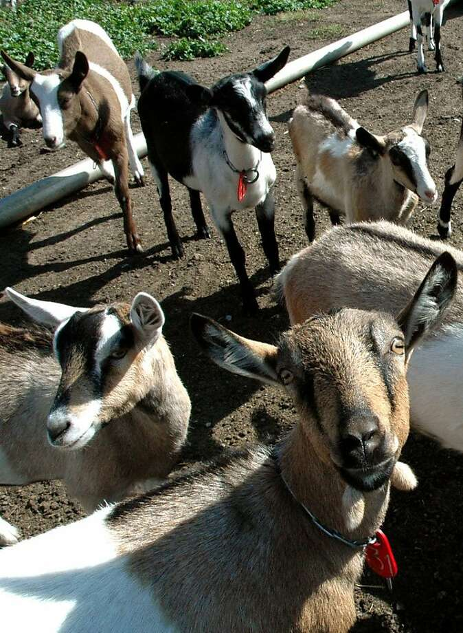 Harley Farms Goat Dairy in Pescadero, CA. Photo: Christine Delsol, Special To The Chronicle