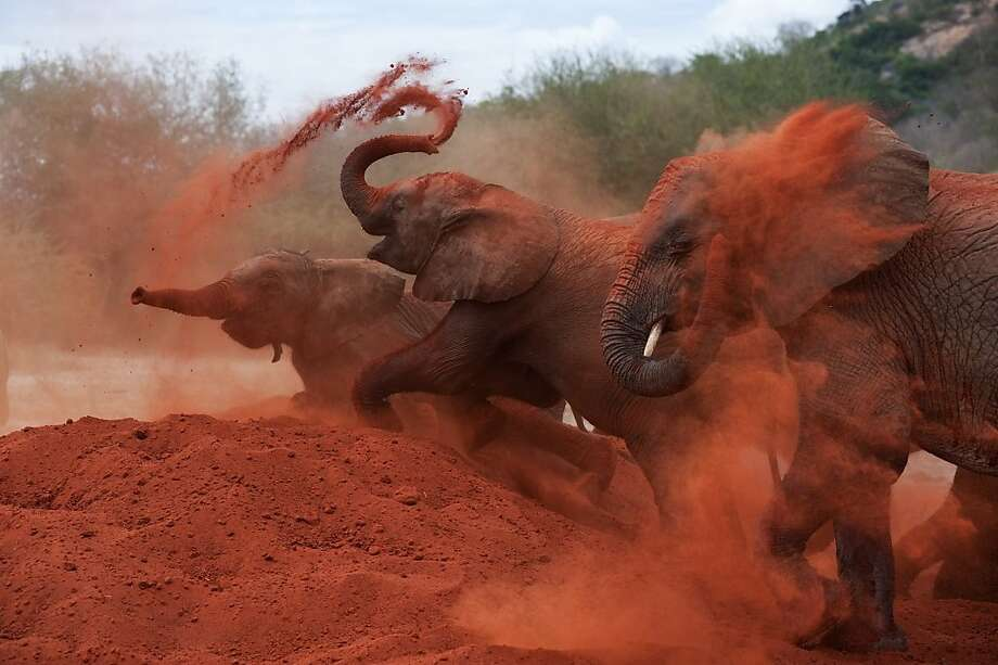 As featured in the IMAX¨ film Born to be Wild 3D, elephants love to play in the red soil of Tsavo National Park which is like talcum powder for their rough hides. Photo: Drew Fellman, Warner Bros.