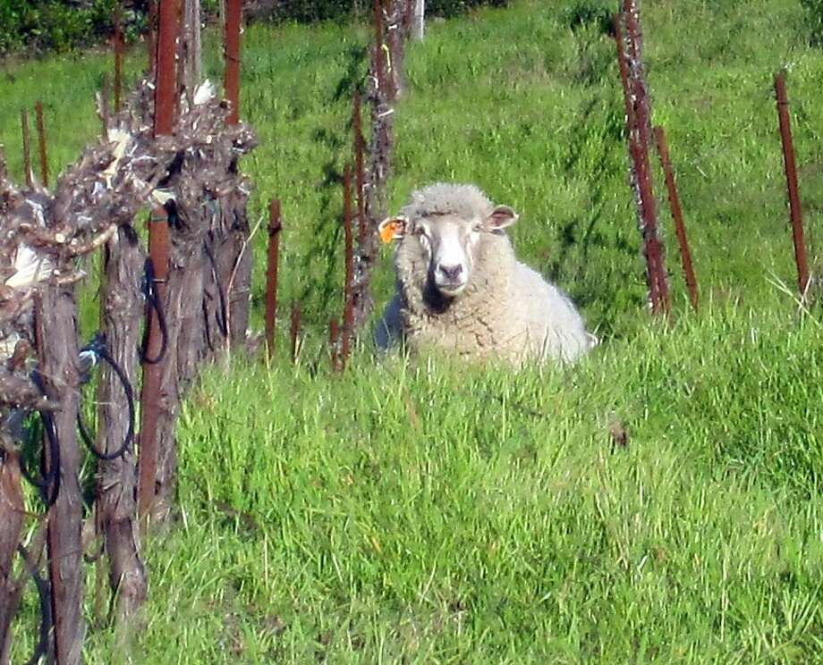 Sheep graze on Tom Meadowcroft's Mt. Veeder vineyard, Meadowcroft Wines, March 19, 2011. The sheep are specially bred to graze in the vineyards, clearing overgrown brush, but unable to reach the grapes on the vines. The attack occurred Thursday night or Friday morning. Photo: Tom Meadowcroft, Courtesy To The Chronicle