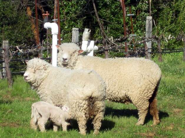This is a photo of the sheep on Tom Meadowcroft's Mt. Veeder vineyard, Meadowcroft Wines, taken on March 19, 2011. Photo: Tom Meadowcroft, Courtesy To The Chronicle