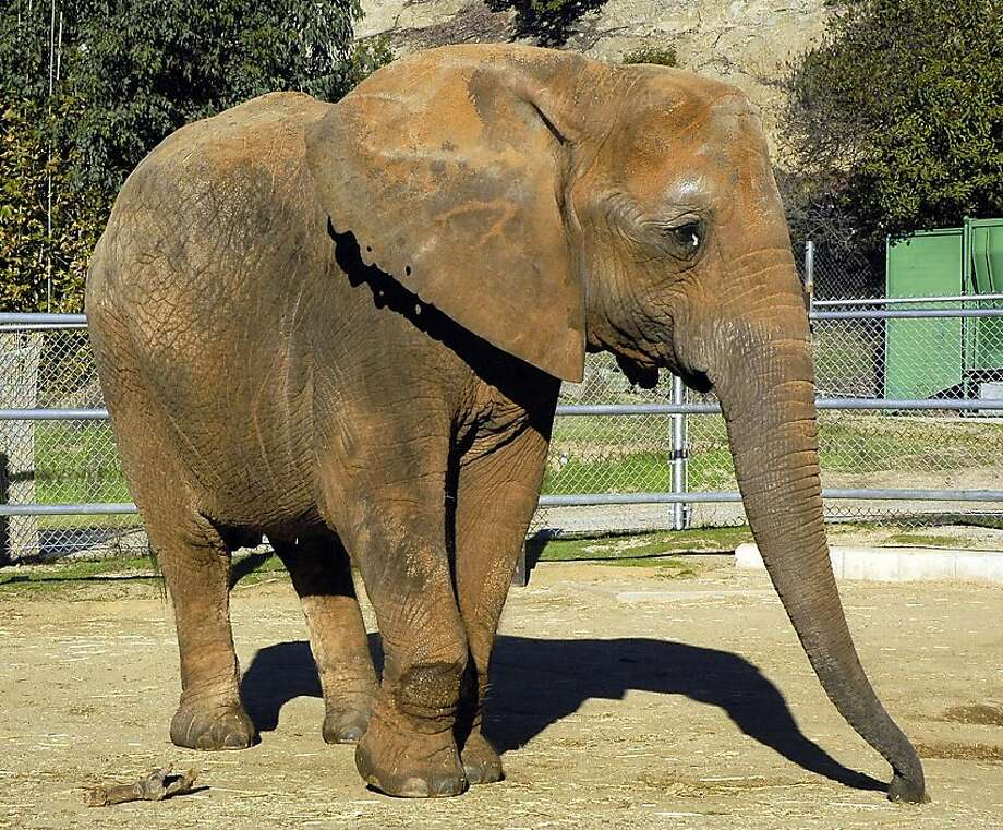 FILE - In this file photo originally released by the Los Angeles Zoo, shows Ruby the elephant on Nov. 14, 2004. Officials say Ruby, a 50-year-old African elephant who was moved to a sanctuary after protests over her confinement at the Los Angeles Zoo diedMarch 29, 2011 at the Performing Animal Welfare Society elephant sanctuary in San Andreas, Calif. Photo: Jamie Pham, AP