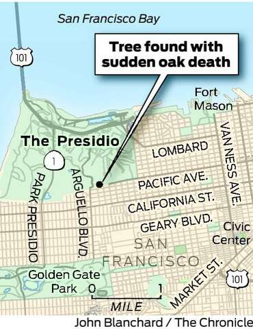 Sf Presidio Tree Infected With Sudden Oak Death Sfgate