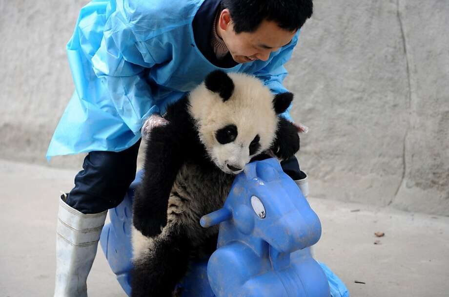 A feeder puts a giant panda cub on a plastic rocking horse at the enclosure at the Giant Panda Research and Conservation Centre in Chengdu, in southwest China's Sichuan province on March 25, 2011. There are only 1,590 remaining in the wild, mostly in Sichuan, Shaanxi and Gansu provinces, as another 290 are in captive-bred programmes worldwide, mainly in China, according to official reports. Photo: Lilian Wu, AFP / Getty Images