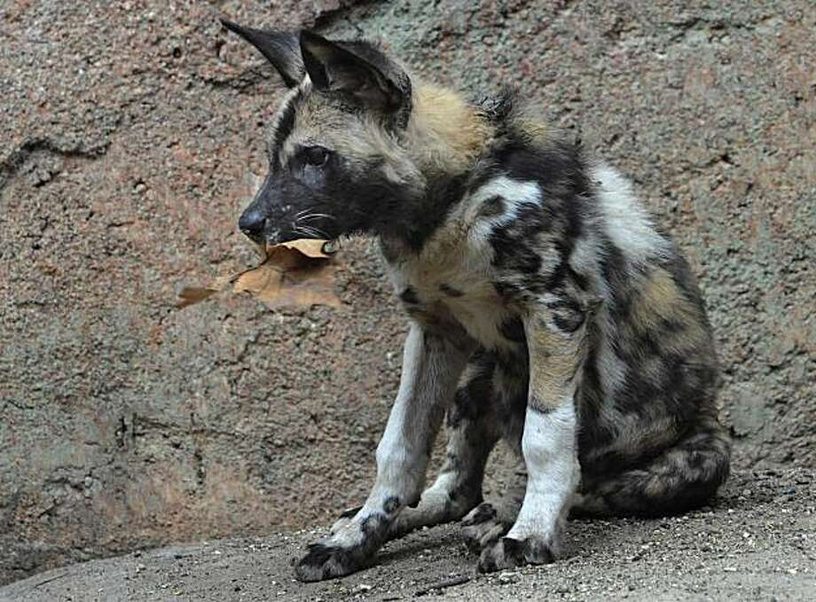 This photo provided by the Chicago Zoological Society shows, one of the Brookfield Zoo's 10 African wild dog puppies, who was born on Nov. 25, 2010, now appearing regularly in their outdoor habitat in Brookfield, Ill., Tuesday, March, 15, 2011. Once common in virtually every environment in southern Africa, excluding rain forests and the driest deserts, African wild dogs now inhabit only the savannahs and grasslands, making them one of the continent's most endangered predators. Photo: Jim Schulz, Chicago Zoological Society