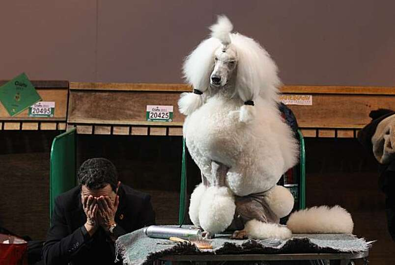 A man rubs his eyes next to a poodle dog on the final day of the annual Crufts dog show at the Natio