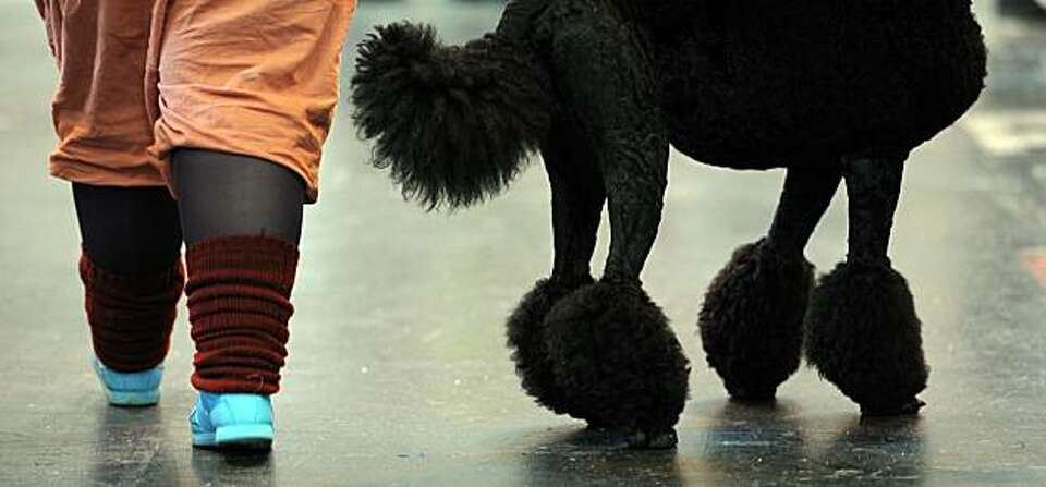 A woman walks past a poodle on the final day of the annual Crufts dog show at the National Exhibitio