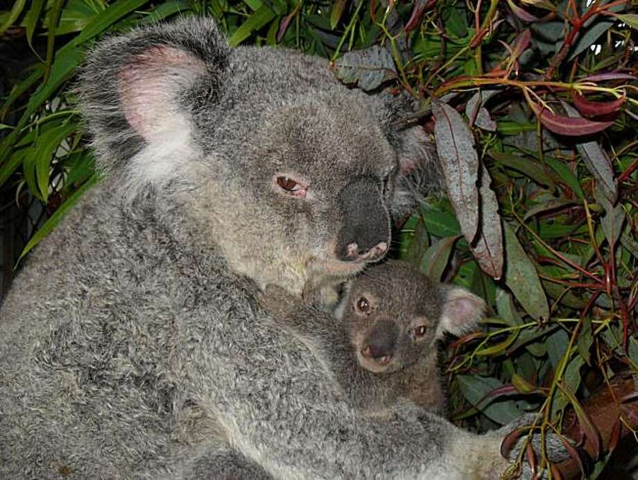 The San Francisco Zoo is debuting its first koala birth since 2000 the week of March 7, 2011 (tentatively March 10). The 7-month-old female koala is the size of a fist and will spend much of its time on its mother's back until it is one to one-and-a-half years old and stops nursing. Mother and child will be at the indoor portion of the Koala Crossing exhibit. Photo: N/a, San Francisco Zoo