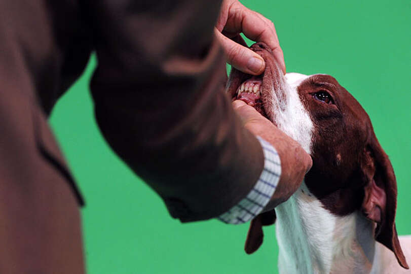 A judge inspects a Pointer's teeth in a show ring on the first day of the annual Crufts dog show at