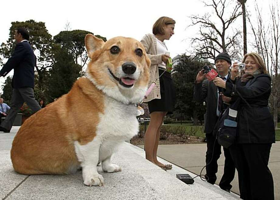 California First Lady Anne Gust Brown, background center,  officially announces Sutter as the First Family dog while talking with reporters on the steps of the Capitol, in Sacramento, Calif., Tuesday, Feb. 15, 2011. Sutter, a 7-year-old  Welsh Corgi had been the dog of Gov. Jerry Brown's sister until she took a job out of state. Sutter has his own Facebook page for friends to keep up on his activities. Photo: Rich Pedroncelli, AP
