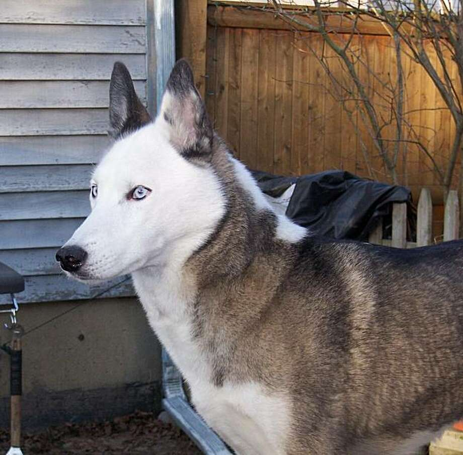Queen Ra, a former sled dog owned by Jo Jaques of Salem, Mass. She is the half-sister of another of Jacques' dogs, Viking. Photo: Jo Jacques