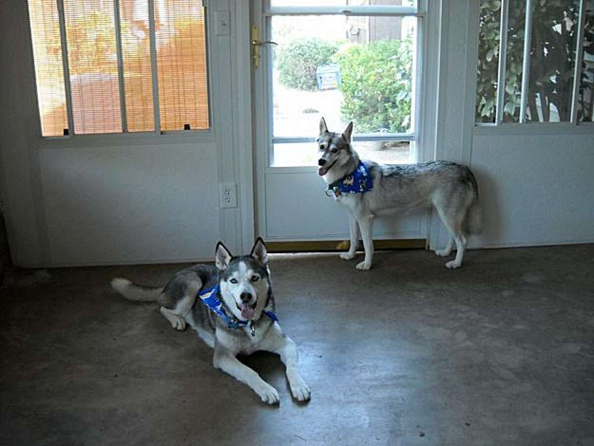 Binks, left, and Cricket, right, two former sled dogs owned by Nannette Morgan of Morgan Hill. Binks, now 12 years old, is a Siberian Husky Morgan adopted when he was nine months old, and Cricket, now five years old, was adopted from a sled dog racing kennel two years ago.