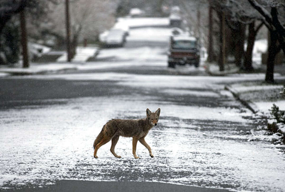 A coyote crosses a snowy street in the Irvington section of Portland, Ore., early Thursday, Feb. 24, 2011.