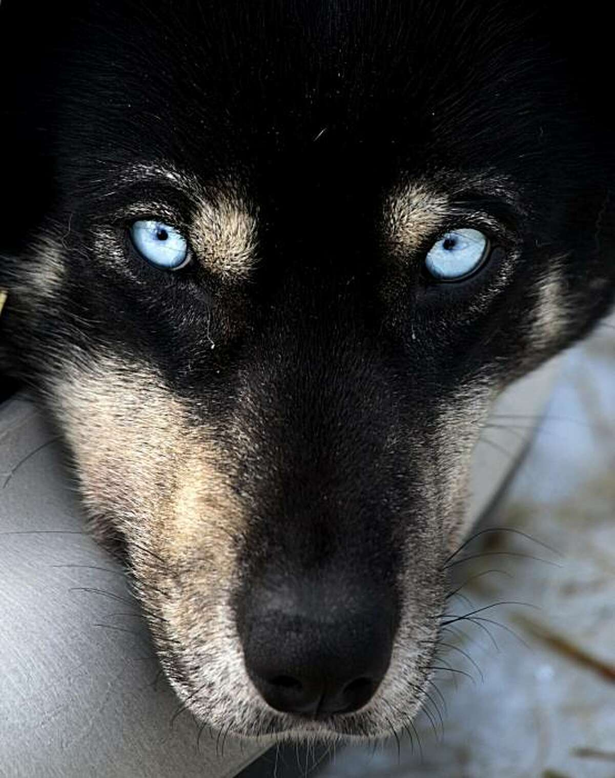 A sled dog rests at a kennel operated by Whistler Outdoor Adventures near Whistler, British Columbia, on Saturday, Feb. 5, 2011. A government task force has been created to investigate after a Whistler outdoor adventure company shot and killed 100 healthysled dogs after bookings dropped following the 2010 Winter Olympics.