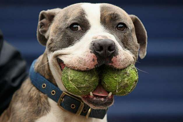 LONDON, ENGLAND - DECEMBER 29:  'Blue' is looked after at Battersea Dogs & Cats Home whilst awaiting a new home on December 29, 2010 in London, England. Blue is one of a few dogs to have spent their second Christmas