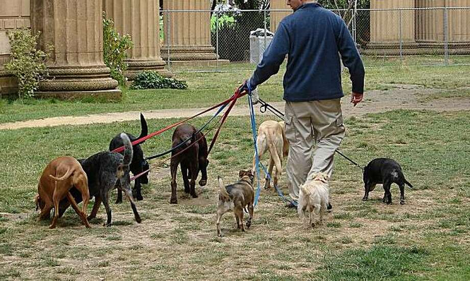 Walking too many dogs at one time is a sign that you're dealing with an irresponsible or inexperienced professional dog walker. Photo: Elaine Davis