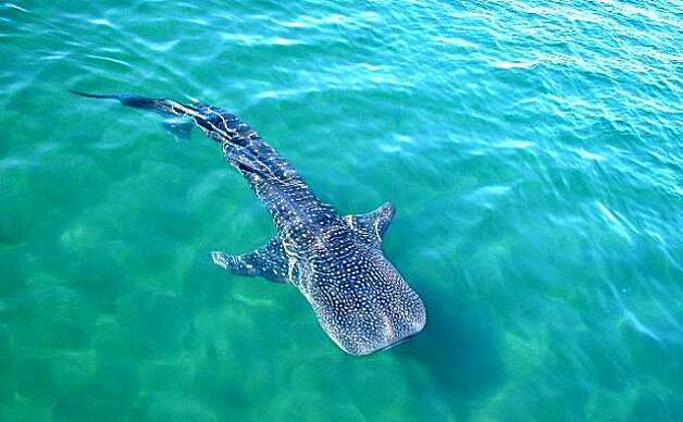 Whale shark Photo: Mexico Tourism Board