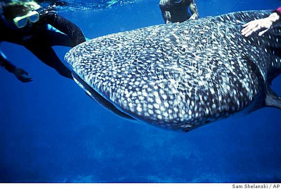 -A young 20-foot whale shark interacts with divers off the coast of Belize, in this photo taken in May 1995. Little is known about these gentle giants, the largest fish in the ocean. Hardly a terrifying creature, this animal has no teeth to speak of and is covered in polka dots. (AP Photo/Sam Shelanski) Photo: Sam Shelanski, AP