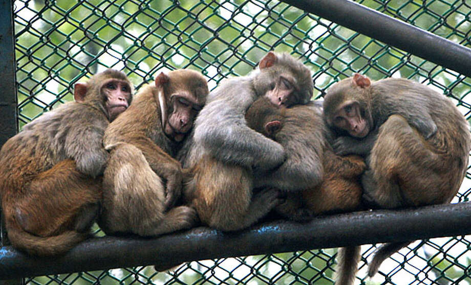 Monkeys cuddle together to warm themselves during a cold and foggy morning at the Dhaka zoo, in Dhaka, Bangladesh, Wednesday, Jan. 6, 2010. Six cold wave related deaths have been reported in the country and some districts in the north have reported an outbreak of cold related diseases. Photo: Pavel Rahman, AP