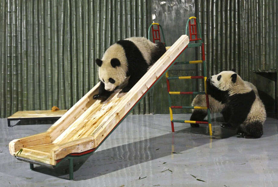 In this photo taken Tuesday, Jan. 5, 2010, newly-arrived pandas play around a slide at a zoo in Shanghai, China. Six female and four male pandas from the Wolong Giant Panda Reserve Center in Sichuan arrived Tuesday to spend six months at the Shanghai Zooand then six months at the Shanghai Wildlife Zoo, said a spokeswoman for the Shanghai Zoo. Photo: AP