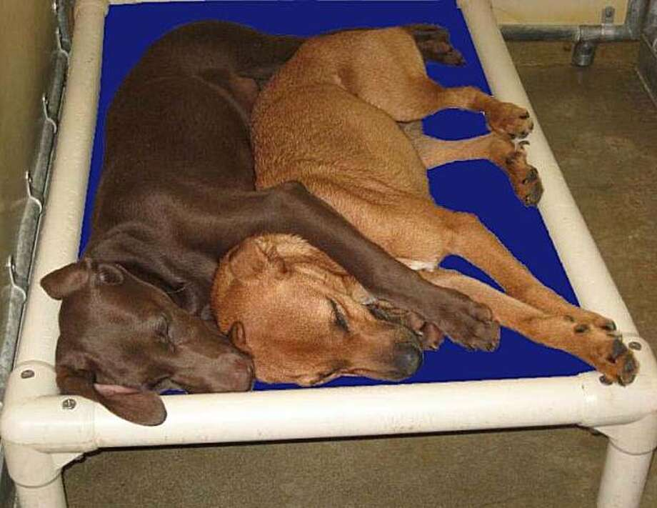 wo dogs snuggling on a raised pet bed donated to the Shelby Humane Society in Columbiana, Ala. The bed was given by a pet lover through a program offered at Kuranda.com. Photo: Courtesy Of Kuranda Pet Beds