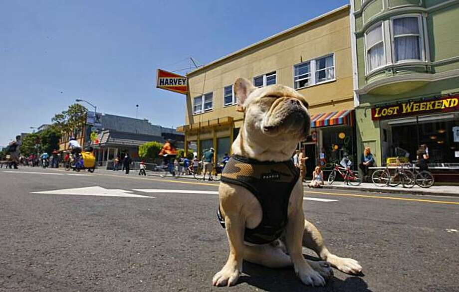 Levi Gold, a French Bulldog soaks up the sun in the middle of Valencia Street while the street was closed for the public to have fun, Sunday June 7, 2009 in San Francisco, Calif.  This was the first time that Sunday Streets hit the Mission District. Photo: Lacy Atkins, The Chronicle