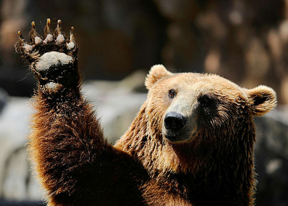 A grizzly bear waves at Madrid's zoo on July 7, 2010 on a hot summer day.