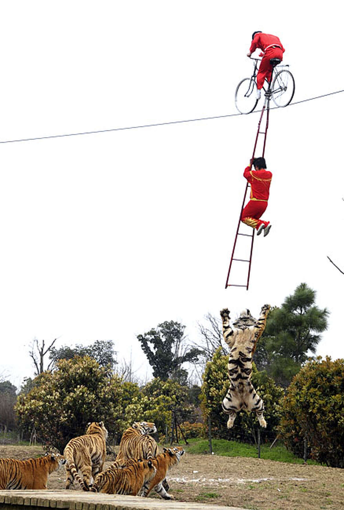 In this Tuesday, March 30, 2010 photo, a tiger jumps to catch a Chinese circus performer, clinging on to a ladder above the tiger den at a zoo in Changzhou in east China's Jiangsu province. Authorities canceled the performance amid wide criticism after media exposure, newspapers reported.