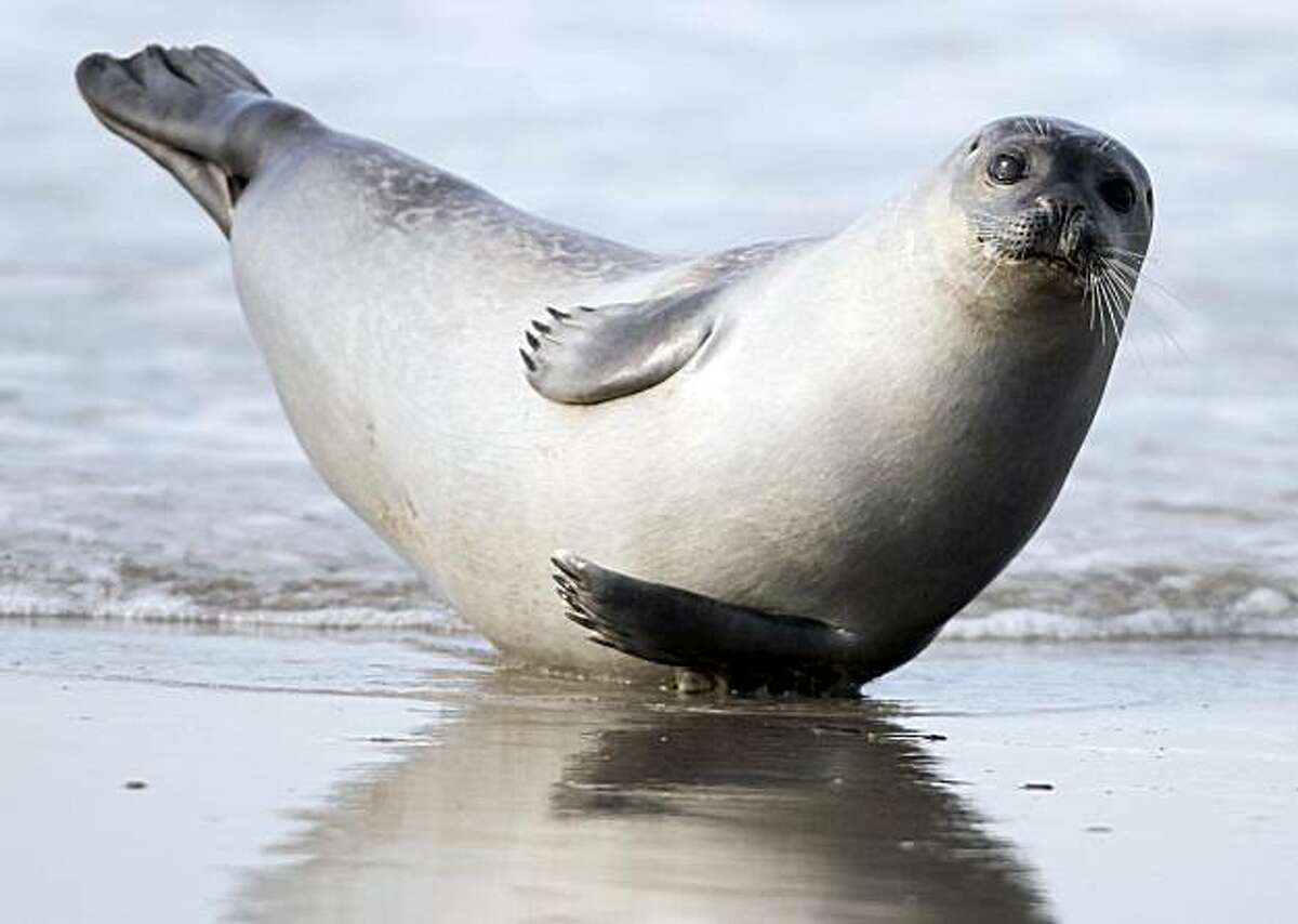 A seal pup relaxes on the beach of the island Helgoland, northern Germany, Saturday, April 3, 2010.