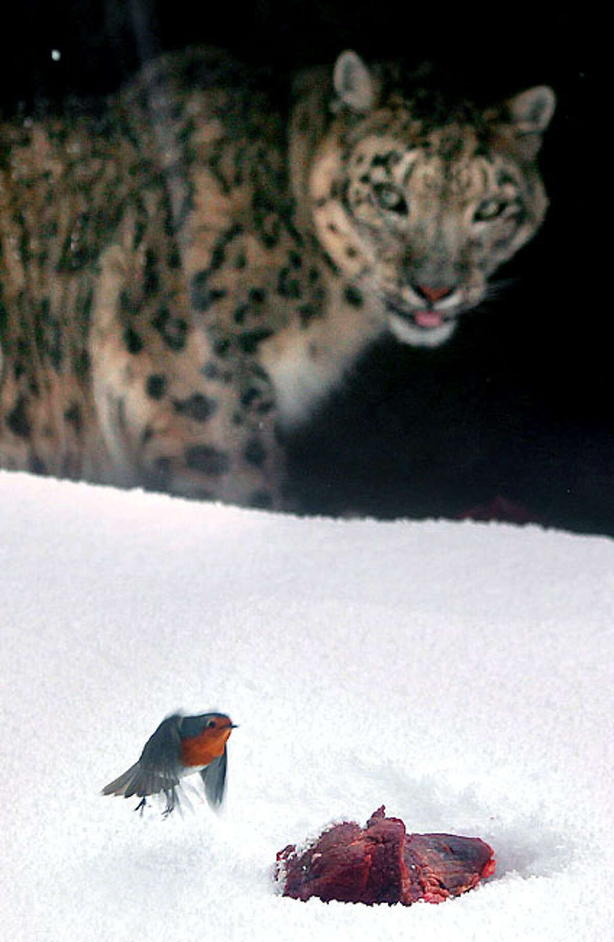 A Robin comes to the attention of a Snow Leopard and his meal during feeding time in Dublin Zoo as heavy snowfalls and freezing conditions continue in the Republic of Ireland, Wednesday, Dec. 1, 2010.