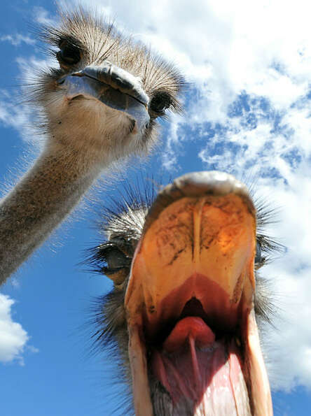 An ostrich opens its mouth in an attempt to nip at a camera as another ostrich looks on during the f