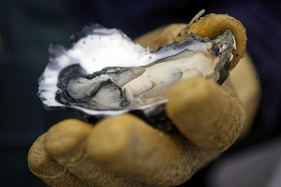 Sandro Roblero holds up a shucked oyster at Drakes Bay Oyster Company in Inverness, Calif., on Tuesday, May 5, 2009. The oyster company learned today that their company was not harming the ecosystem and environment as environmentalists had said they wereSandro Roblero holds up a shucked oyster at Drakes Bay Oyster Company in Inverness, Calif., on Tuesday, May 5, 2009. The oyster company learned today that their company was not harming the ecosystem and environment as environmentalists had said they were.  Ran on: 09-23-2009 The product of Drakes Bay Oyster Co. farm. Photo: Hardy Wilson, The Chronicle